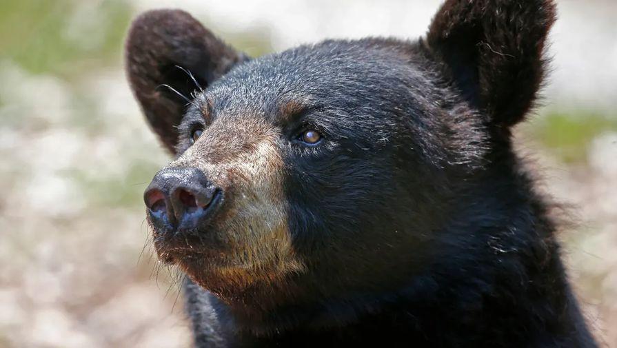Загадочная болезнь делает медведей в США добрыми, а затем убивает
