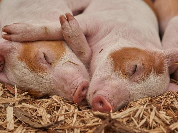 В Забайкалье из-за вспышки чумы, «связанной» с воинскими частями, сожгли тысячу свиней