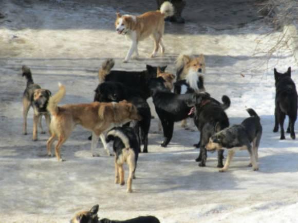 В Коми стая бродячих собак напала на четырехлетнюю девочку — ребенок в реанимации