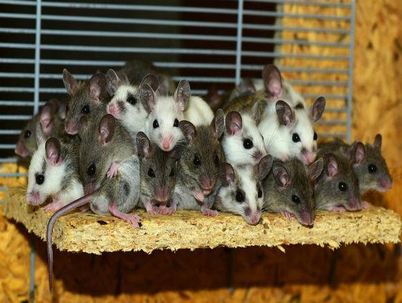 Японские ученые отсрочили старость у мышей