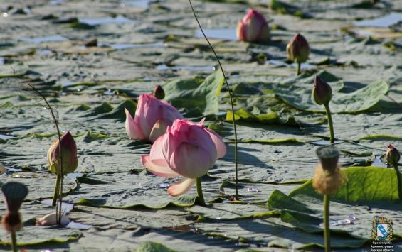 В Курской области ведется благоустройство пруда с лотосами