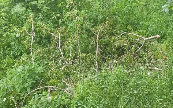 В Курске убирают аварийные деревья