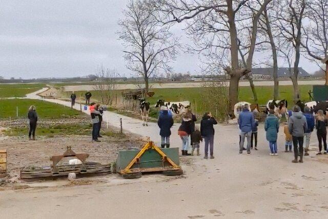 Нидерландские коровы наконец-то вышли на улицу. И они не в восторге