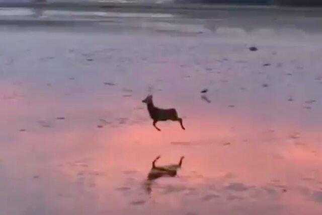 Отвлекитесь от новостей про Трампа и захват Капитолия: тут счастливый олень развлекается на пляже!