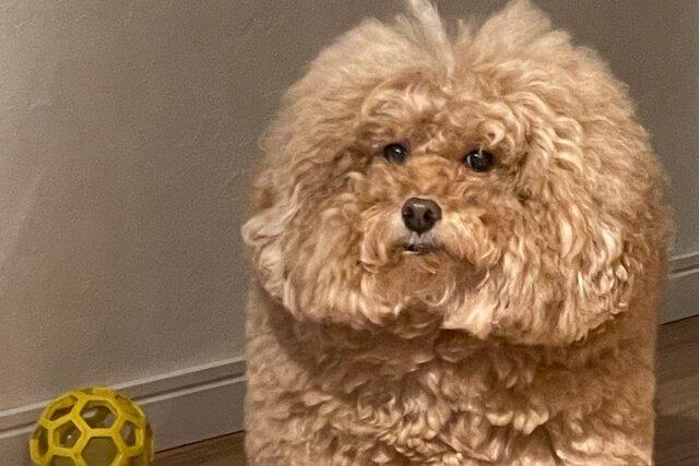 В Японии нашли квадратного пса, похожего на человечков из игры Among Us