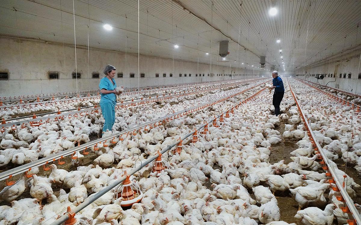 Вирусологи оценили риск распространения птичьего гриппа среди людей