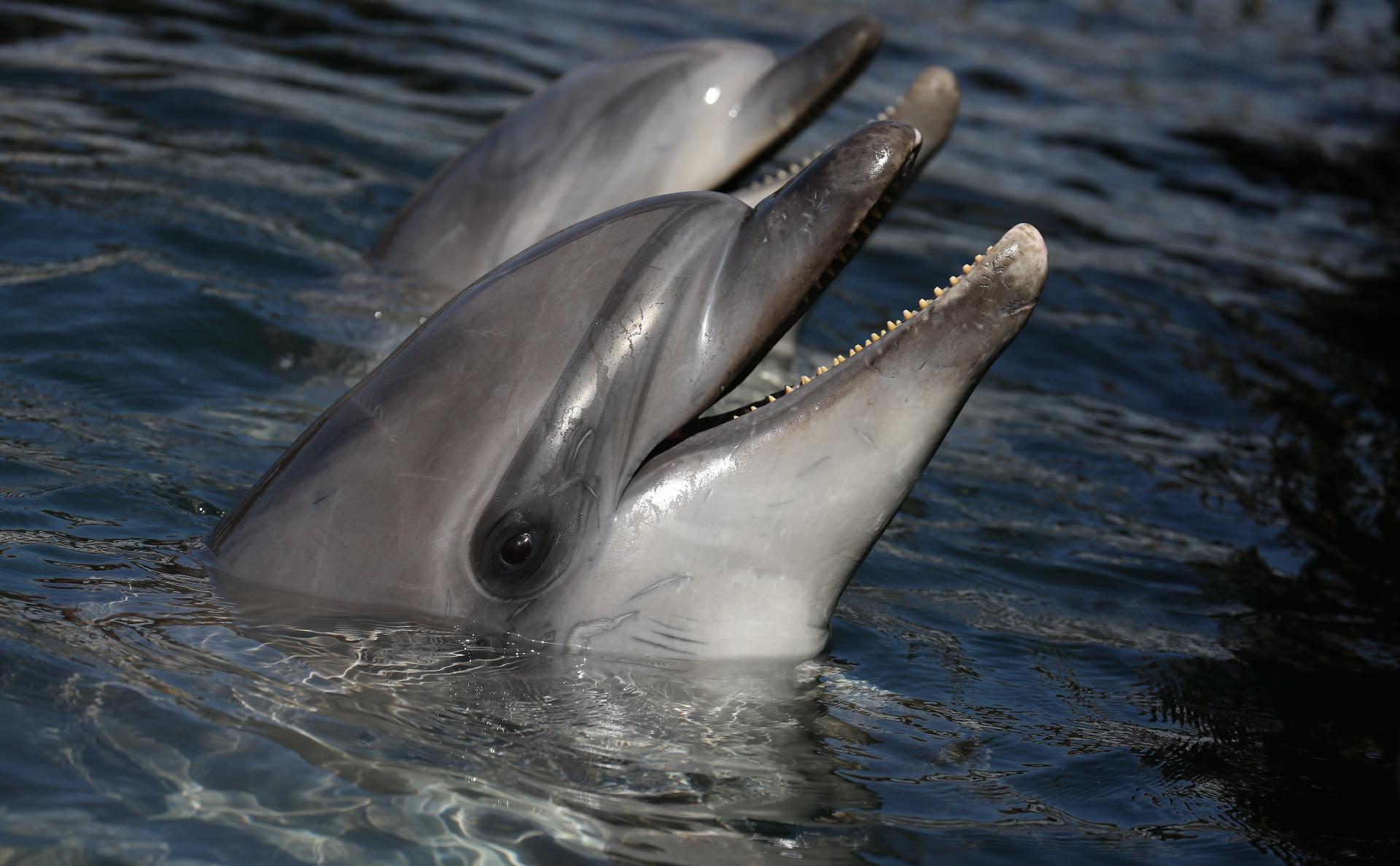 В Госдуме предложили запретить вылов косаток и дельфинов для дельфинариев