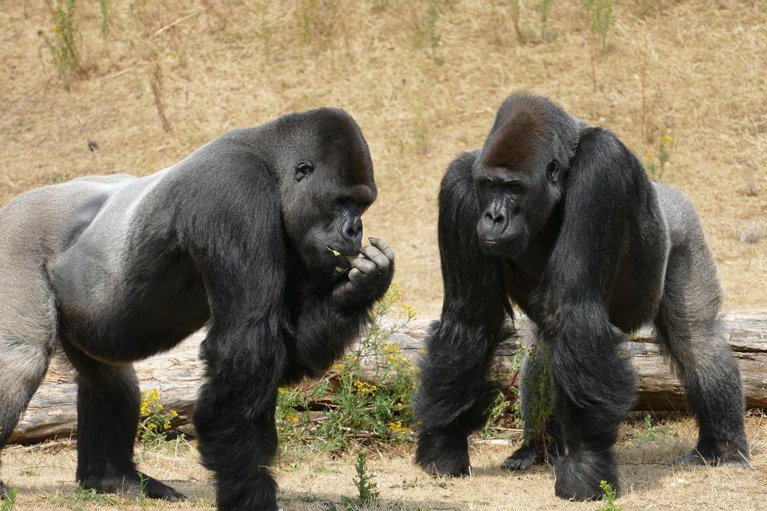 Бунтовщики с Reddit направили более $330 тысяч на спасение горилл