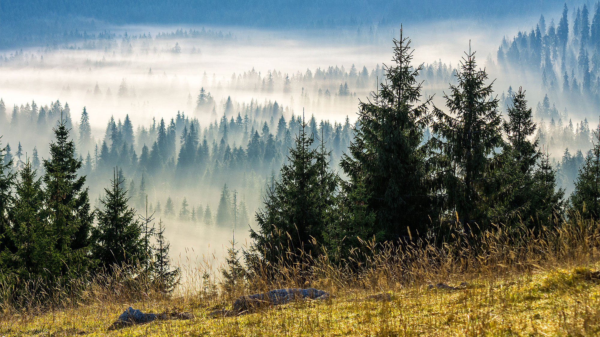 Почему ёлки зелёные? Учёные раскрыли секрет хвойных деревьев