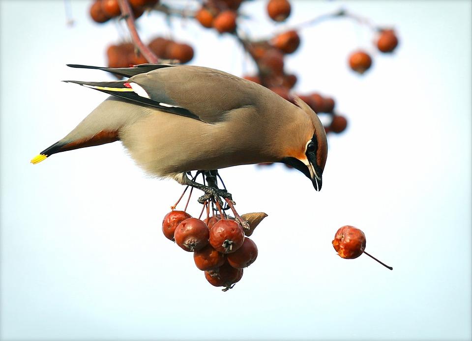 Орнитолог рассказал, какие птицы подвержены алкоголизму и как им помочь