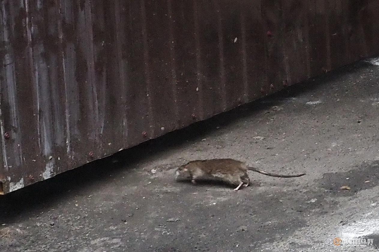 Кажется, у нас завелась крыса. Петербуржцы призывают кару на головы хвостатых вредителей